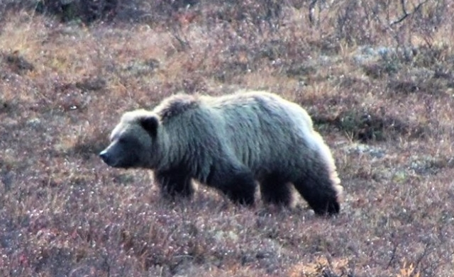 denali_grizzly_1.jpg