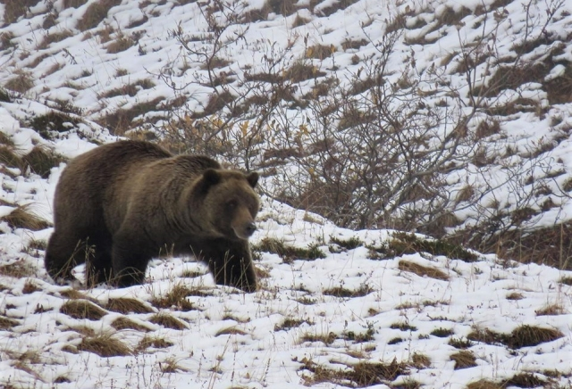 denali_grizzly_2.jpg